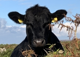 cow over hedge